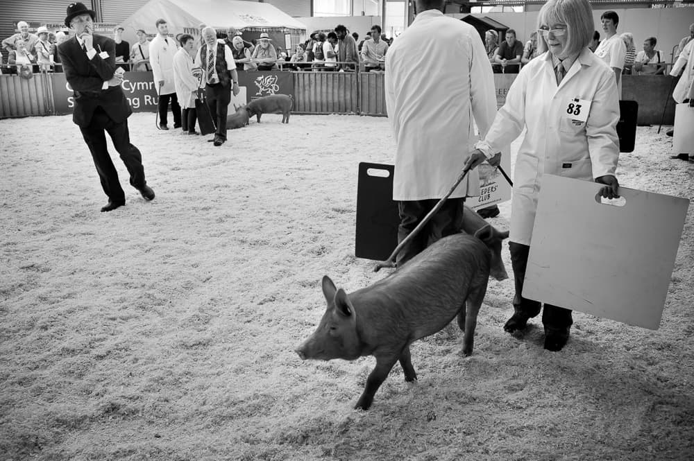 Judging pigs - Builth Wells
